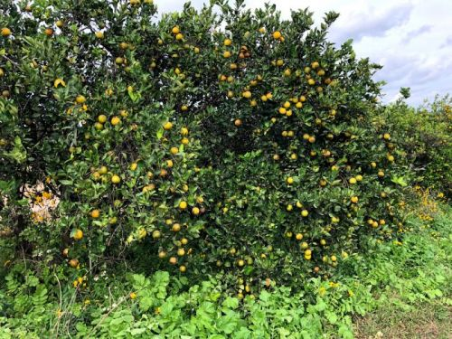 Can Cover Crops Save Florida's Citrus?