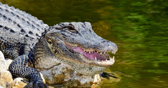 Florida Man Tries to Serve Beer To An Alligator