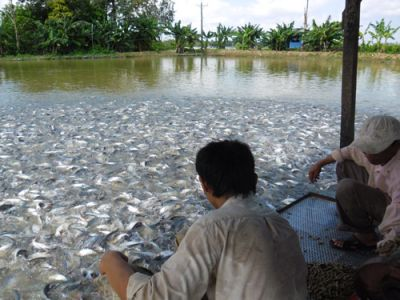 Pangasius: why is it being farmed intensively along the rivers of Southeast Asia?
