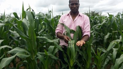 Fall armyworm: too late to avert disaster?