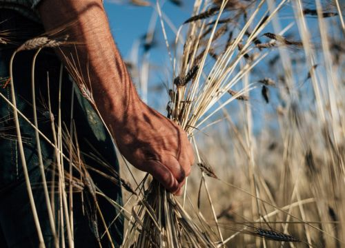 Great Britain: Climate change puts cereal production at risk