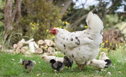 Number of illnesses from backyard flocks breaks record