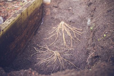 Garden Notes: Green Shoot and Crown Root - Planting an Asparagus Bed