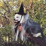 Based on This Video of a Chihuahua in a Witch Costume, I'm Assuming He's Casting an Evil Spell on His Owners