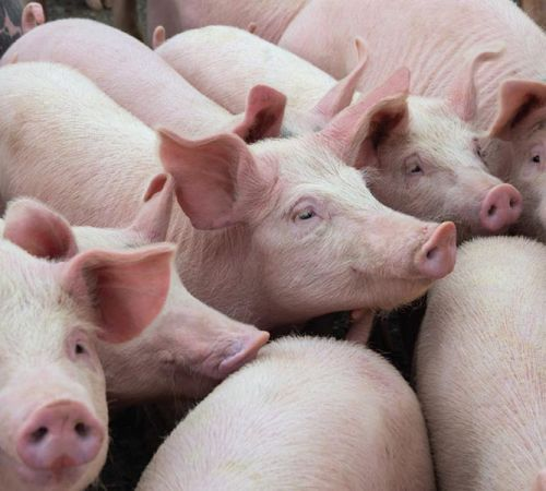 The link between antibiotic resistance and raising animals for food