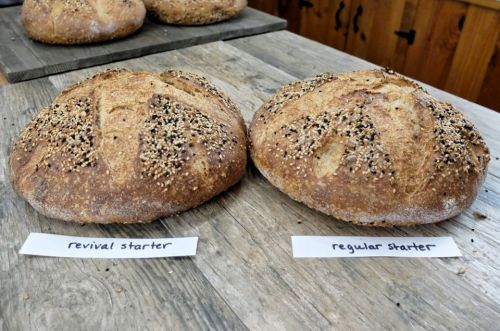 Sourdough starter troubleshooting, part 2: Can this starter be saved?