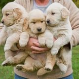 Everything You Need to Know Before Bringing Home a Golden Retriever