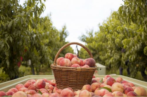 Fun Facts About Stone Fruit