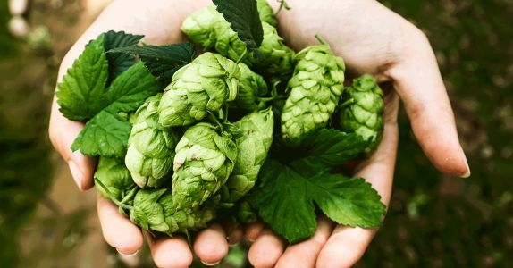 How to Grow Your Own Hops