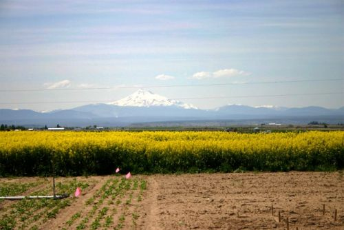 Oregon's Seed War: Can Vegetable Crops and Canola Coexist in the Seed Capitol of America?
