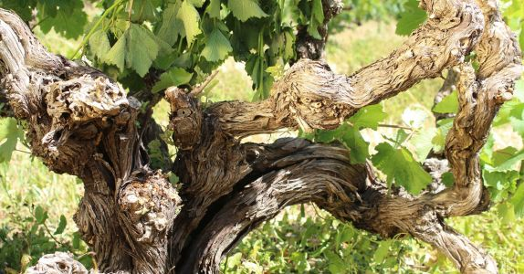 Chenin Blanc Winemakers Are Breathing New Life Into South Africa's Forgotten Vines