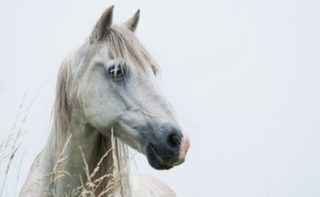 A permanent ban on horse slaughter might replace that yearly budget proviso
